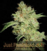 Dr Underground Brooklyn Mango Female 8 Seeds